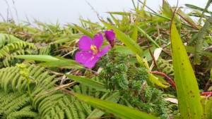 Tibouchina chamaecystus ou thym montagne, espèce assez rare et endémique de la Martinique que vous pourrez croiser sur les pentes de la Montagne Pelée